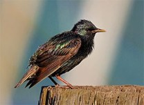 european_starling_glamour1