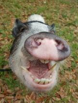 pig teeth