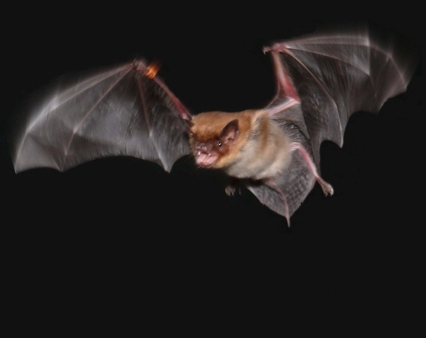 big-brown-bat