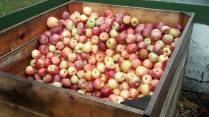 Plenty of apples!