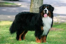 bernese-mountain-dog-01